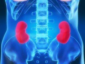 reni-anatomia-corpo-umano